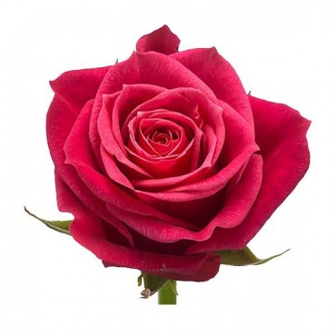 Роза Cherry