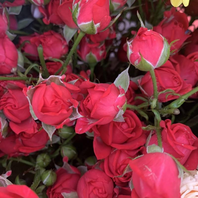 Роза кустовая Cherry Kheops