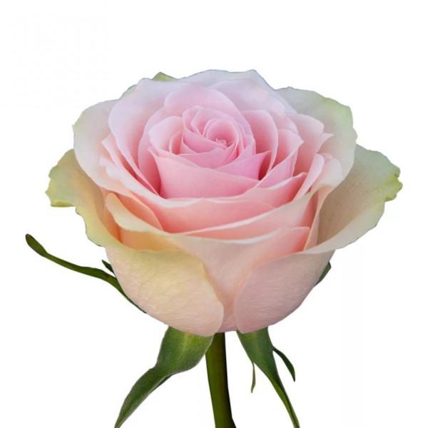 Роза Frutetto
