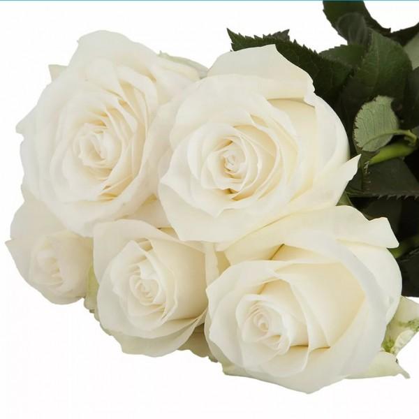 Роза Praud